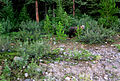 Pandabär in Kanada.JPG