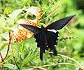 Papilio macilentus.JPG