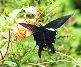 Sưu tập Bộ cánh vẩy 2 - Page 66 280px-Papilio_macilentus