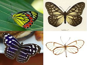 Papilionoidea - Top left: Delias eucharis
