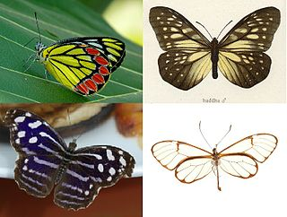Papilionoidea superfamily of insects that contains all the butterflies except for the moth-like Hedyloidea