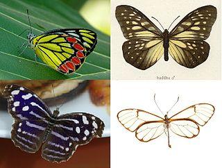 Papilionoidea Superfamily of butterflies