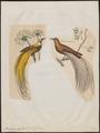 Paradisea apoda - 1700-1880 - Print - Iconographia Zoologica - Special Collections University of Amsterdam - UBA01 IZ15700117.tif