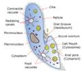 Paramecium diagram.png