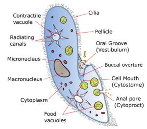 Paramecium - A diagram of Paramecium caudatum