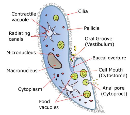 Paramecium diagram