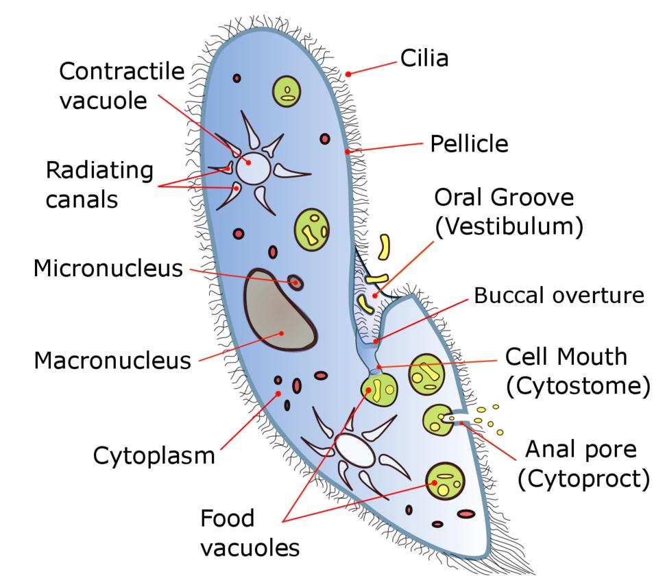 A diagram of Paramecium caudatum