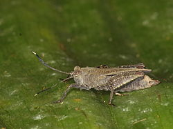Parasitic wasp on top of a Pygmy grasshopper (6282448159).jpg