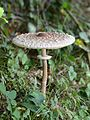 Parasol oder Riesenschirmpilz, Macrolepiota procera 6.JPG