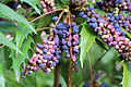 Park and Tilford Spring Garden Oregon-grape 02.JPG