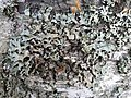 Parmelia sulcata 93735269.jpg