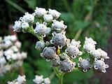 Parthenium-integrifolium-wild-quinine-0a.jpg