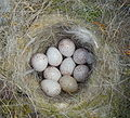 Parus caeruleus egg.JPG