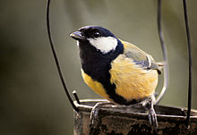 Great tit perched on twig. It has a wide black band down its breast and belly.
