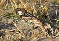 Passer hispaniolensis - Spanish Sparrow 05.jpg