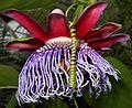 Passiflora 2015-06-16 325.JPG