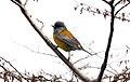 Patagonian Sierra-Finch (Phrygilus patagonicus) (15774324390).jpg