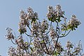 Paulownia - Princess tree 01.jpg