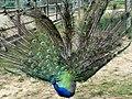 Pavão - Peacock.jpg
