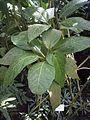 PavoniaStrictifloraHabitus.jpg