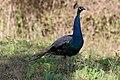 Peacock (181631885).jpeg