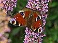Peacock Butterfly - geograph.org.uk - 215727.jpg