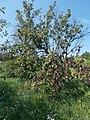 Pear tree, 2020 Marcali.jpg