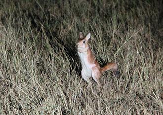 East African springhare - In Amboseli National Park, Kenya