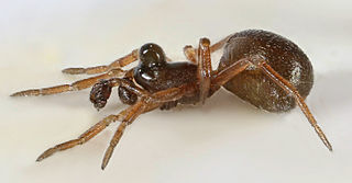 <i>Pelecopsis</i> Genus of spiders