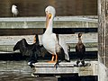 Pelican and Cormorants i (25506880158).jpg