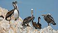 Pelicans - Islas Ballestas (7136762311).jpg