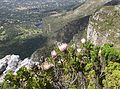 Peninsula Sandstone Fynbos on Table Mountain - Cape Town 3.jpg