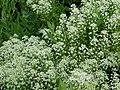Pepperwort (Lepidium campestre) - geograph.org.uk - 189215.jpg