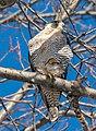 Peregrine falcon in CP (41020).jpg