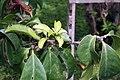 Pereskia grandifolia 34zz.jpg