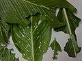 Pergesa acteus (Thailand, Nonthaburi, Bang Bua Thong, Soi Mu Ban Bua Thong 4, 2.xi .2014) (D. Kruger) L2-L4.jpg
