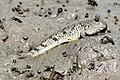Periophthalmus modestus eating ragworm.JPG