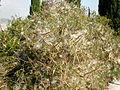 Periploca angustifolia 1c.JPG