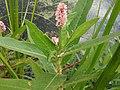 Persicaria amphibia-stipulacea terrestrial.jpg