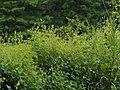 Persicaria perfoliata Photo 23497217-iNaturalist.jpg