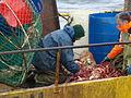 Pesca de centolla en la Bahía Ushuaia 29.JPG