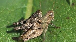 File:Pezotettix giornae copula - 2012-10-15.webm