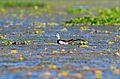 Pheasant Tailed Jacana Bhopal.JPG