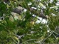 Pheucticus melanocephalus 08722.JPG