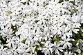 Phlox subulata Snowflake 5zz.jpg