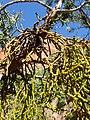 Phoradendron juniperinum kz08.jpg