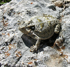 Description de l'image Phrynosoma braconnieri.jpg.