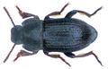 Phylan gibbus (Fabricius, 1775) (32087687934).png