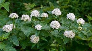 <i>Physocarpus</i> genus of plants