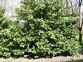 Pianta Prunus laurocerasus ITAS Navarra.JPG